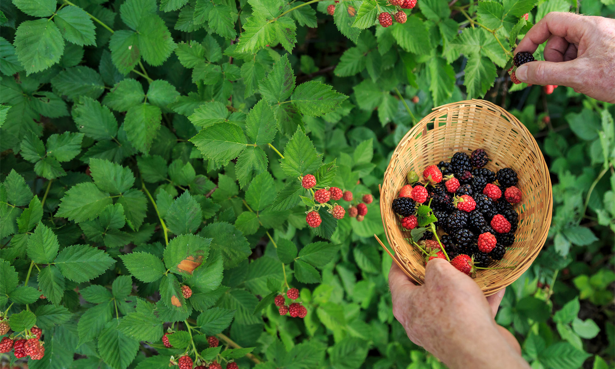 Hands picking raspberries and blackberries.